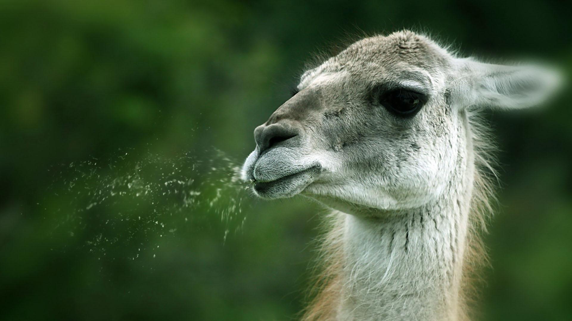 Funny-Spitting-llama