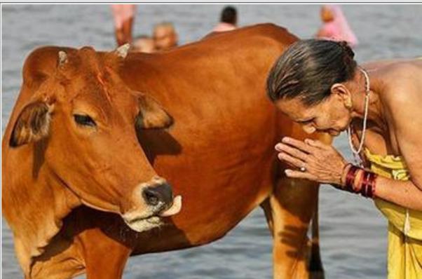 Vaca na India - Namastë!