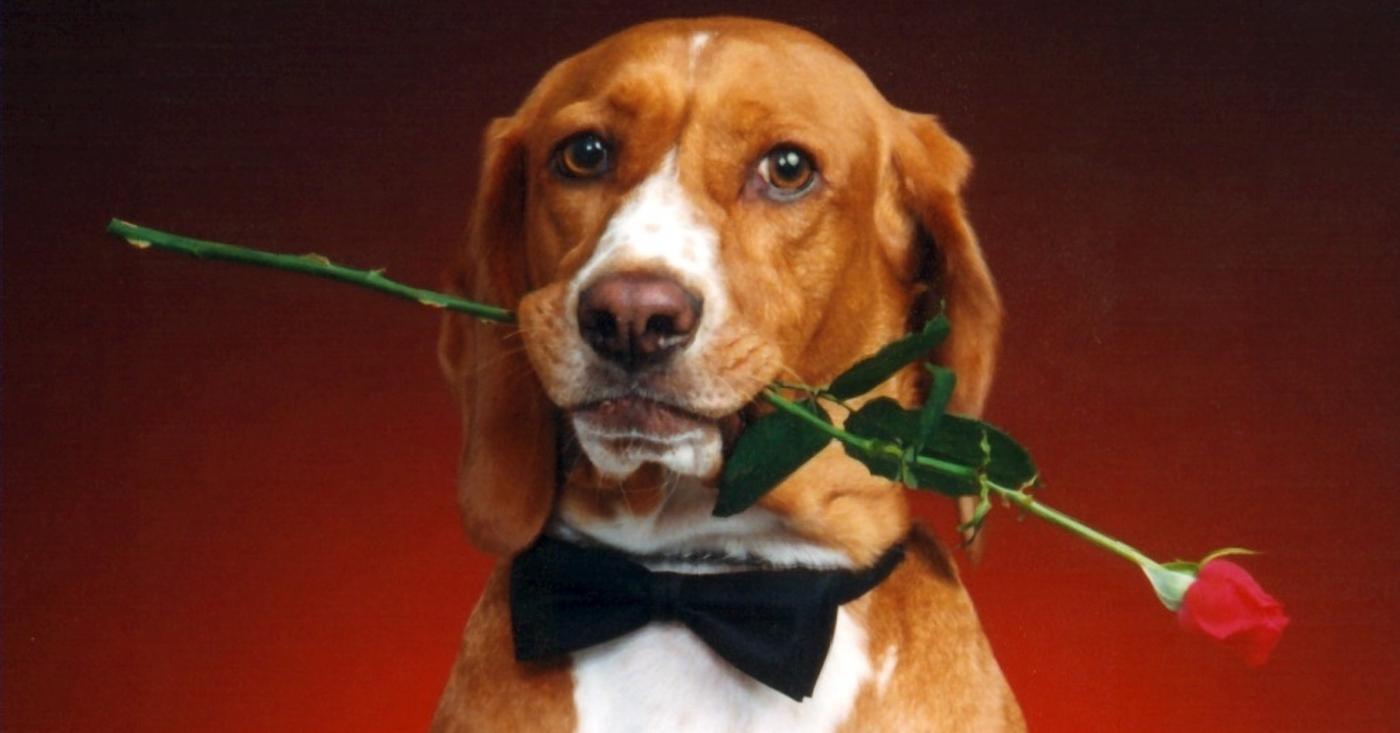 Cachorro cavalheiro - cavalheirismo