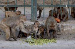 macacos, covid, india